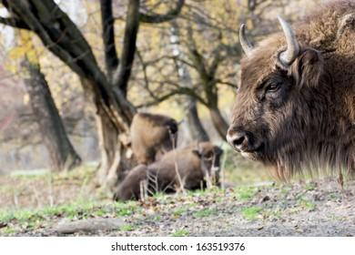 European bison or Wisent (Bison bonasus) graze in the wild.