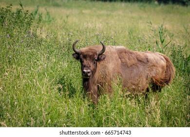 European Bison - Wisent Cow