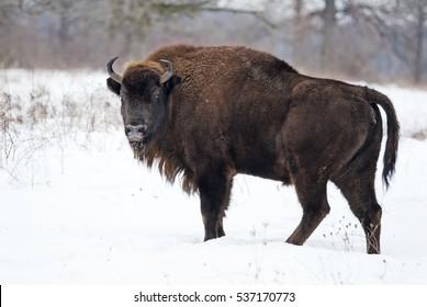European Bison, Wisent, European Wood Bison, herbivore in winter, Bison bonasus, Slovakia