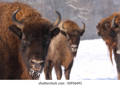 european bisons, bison bonasus in the snow