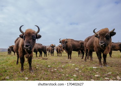 european bisons in the forest