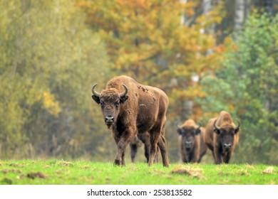 European bisons in its natural habitat.