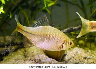 European bitterling, Rhodeus amarus, beautiful ornamental adult male fish demonstrates spawning behaviour near a bivalve mollusc in a coldwater temperate freshwater biotope aquarium