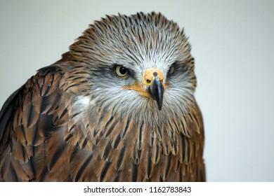 European Black Kite