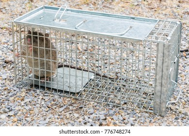 European Black Rat captured in a cage trap