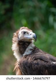 European Black Vulture (Cinereous Vulture)