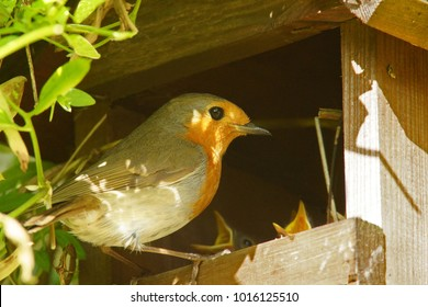 European or British Robin, Erithacus rubecula, just about to enter its garden nesting box, Painswick, Gloucestershire, UK