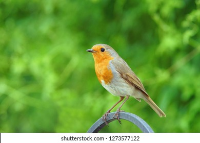 European or British Robin, Erithacus rubecula, an alert single bird sitting on garden fence in a Cotswold garden with diffused green backgroud, Painswick, Gloucestershire,UK