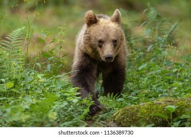 European brown bear in the Carpathian mountains