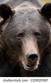 European brown bear face. Bear portrait.