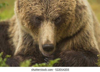 European Brown Bear, Finland, Europe