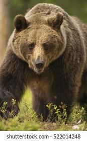 European Brown Bear, Finland, Europe