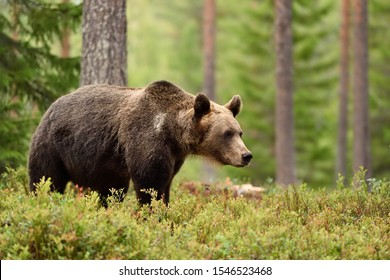 european brown bear in forest