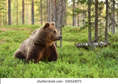 European brown bear in a forest landscape at summer. Grizzly.