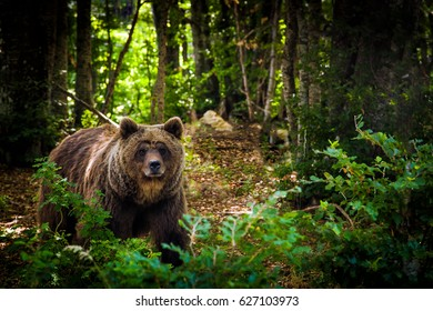 European brown bear in a forest landscape at summer
