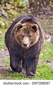 European Brown Bear, large male, walking, alert