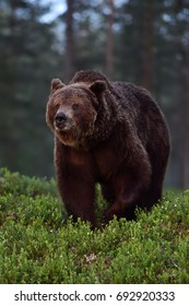 European Brown Bear at night in a forest. Big male bear.