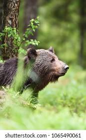 European brown bear portrait in forest at summer