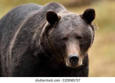 European brown bear portrait in forest. Dark brown bear portrait.
