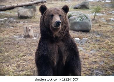 european brown bear portrait in the wilderness