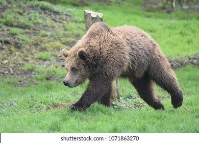 European Brown Bear prowling through the grass looking for food.