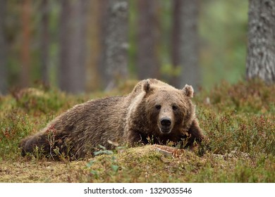 European brown bear resting in forest