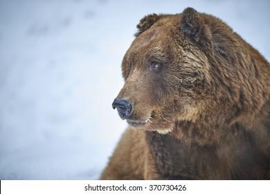European brown bear in snow