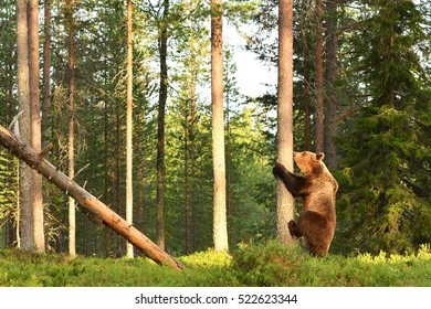 European brown bear starting to climb on a tree. Bear in forest.