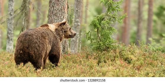 European Brown Bear (Ursus arctos) in taiga forest landscape at summer