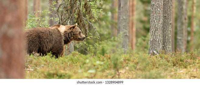 European Brown Bear (Ursus arctos) in the summer forest. Big male brown bear in natural habitat.