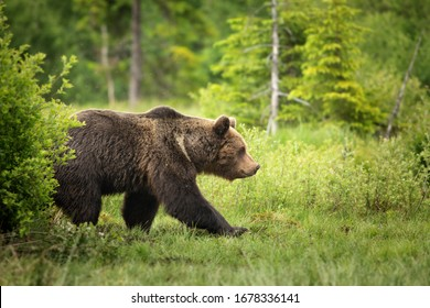 European brown bear ((Ursus arctos) walking in forest habitat. Wildliffe photography in the slovak country (Tatry)