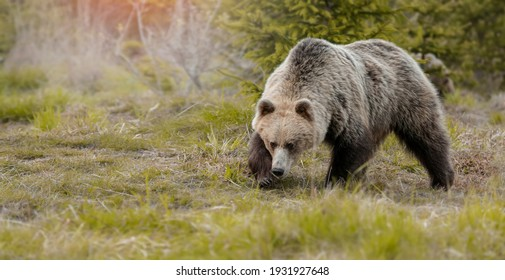 European brown bear ((Ursus arctos) walking in forest habitat. Wildliffe photography in the slovak country (Tatry) Banner photo.
