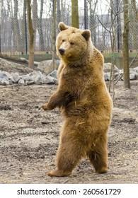 European brown bear (Ursus arctos arctos) is standing up
