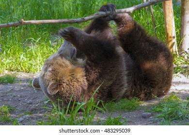 European brown bear (Ursus arctos arctos) is playing with a branch