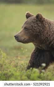 European Brown Bear (Ursus arctos), Kuhmo, Finland, Europe.