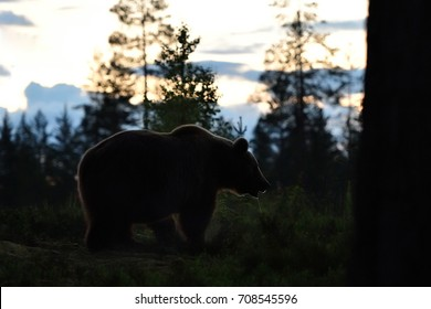 European Brown Bear (Ursus arctos) in a forest after sunset at twilight, nighttime