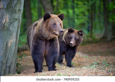 European brown bears in a forest landscape at autumn. Big brown bears in forest.