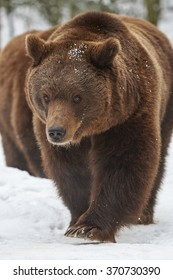 European brown bears in snow