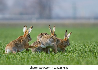 European brown hare (Lepus europaeus)