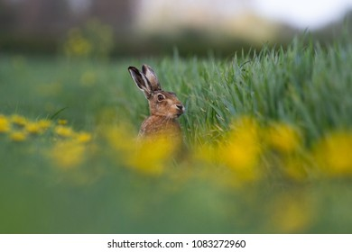 European Brown Hare (Lepus europaeus) in summer farmland setting, United Kingdom