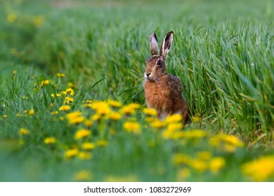 European Brown Hare (Lepus europaeus) in summer farmland setting, United Kingdom