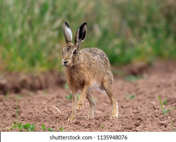 European brown hare, Lepus europaeus, single hare in field, Warwickshire, July 2018