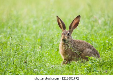 European Brown hare (Lepus europaeus) feeding on a plant, Germany