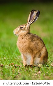 European Brown hare (Lepus europaeus) sitting in a meadow, Germany