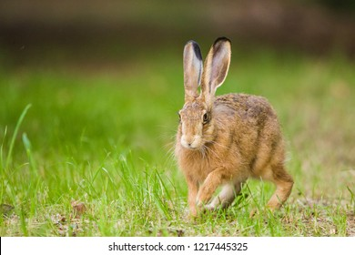 European Brown hare (Lepus europaeus) running in a meadow, Germany
