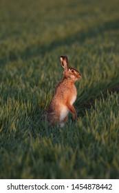 European Brown Hare (Lepus europaeus) at the Danish island Bornholm.