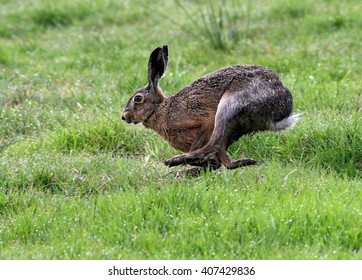 European brown Hare (Lepus europaeus) running fast in lush grassland