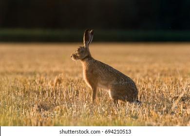 European Brown Hare (Lepus Europaeus) on farmland, Oxfordshire, UK