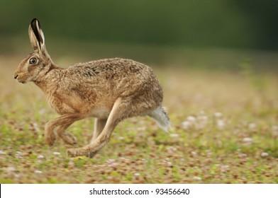 European brown hare (lepus europaeus) running