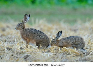 European brown hares (Lepus europaeus) on Stubblefield, Germany, Europe